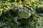 grenouille (2)